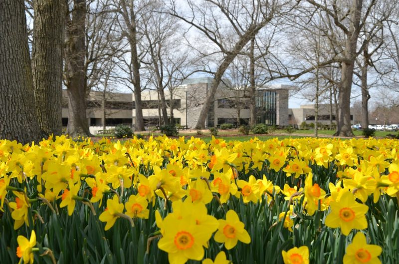 Daffodils in the Grove