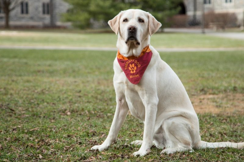 Moose Davis, therapy dog at Cook Counseling Center
